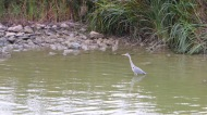 Iberian Heron in the Rio Guadalquivir.